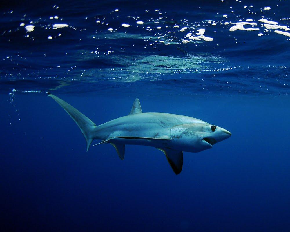 Акула-лисица вечером фото