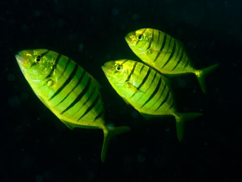 Evening Yellow jack fishes wallpaper