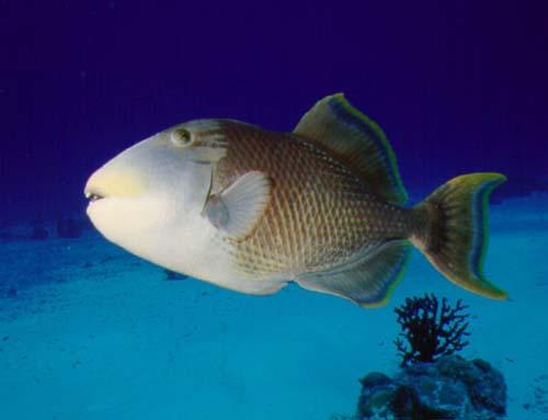Evening Yellowmargin triggerfish wallpaper