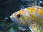 Face сanary rockfish