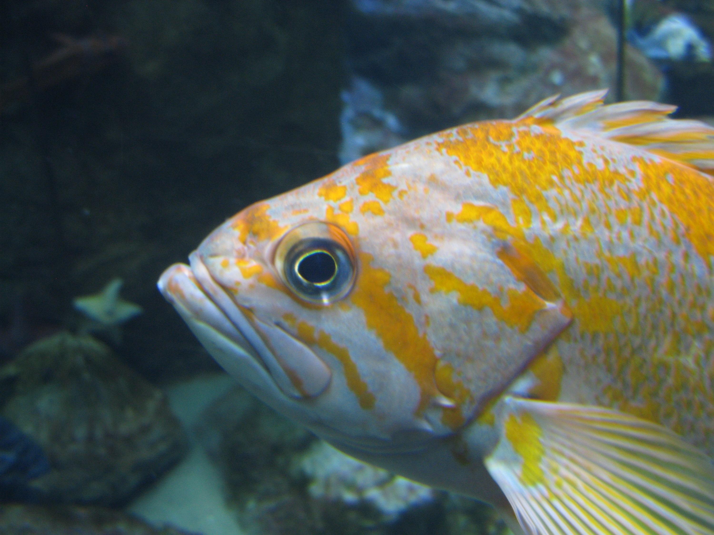 Лицо морского окуня фото