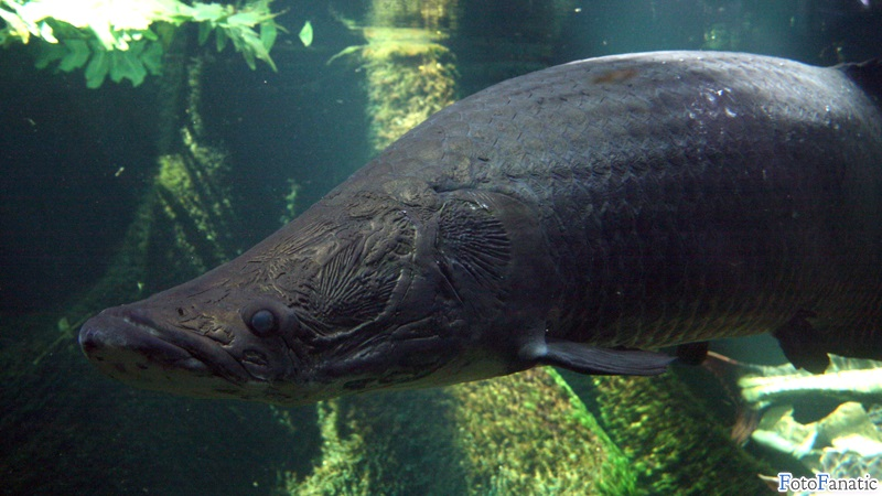 Face  Arapaima wallpaper