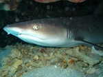 Face Bamboo shark