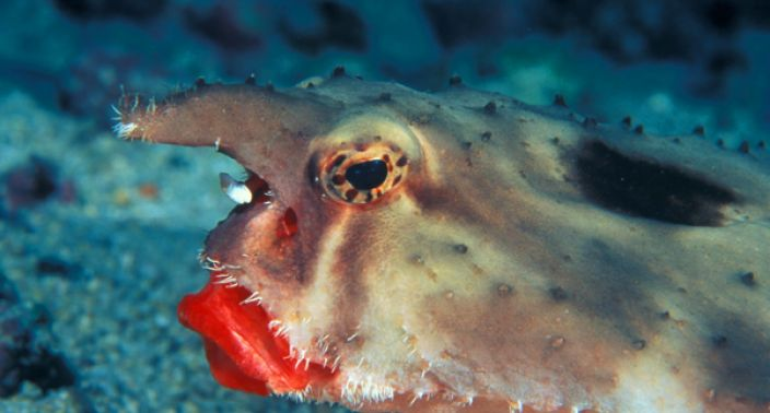 Face Batfish wallpaper