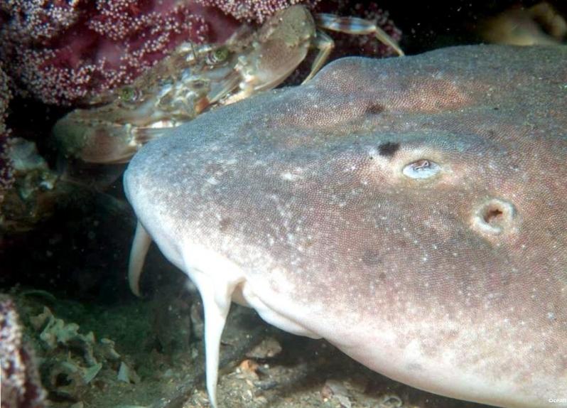 Лицо слепой акулы фото