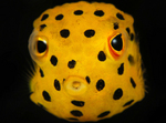 Face boxfish