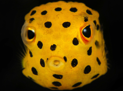 Face boxfish wallpaper
