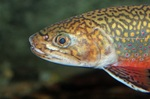 Face brook trout