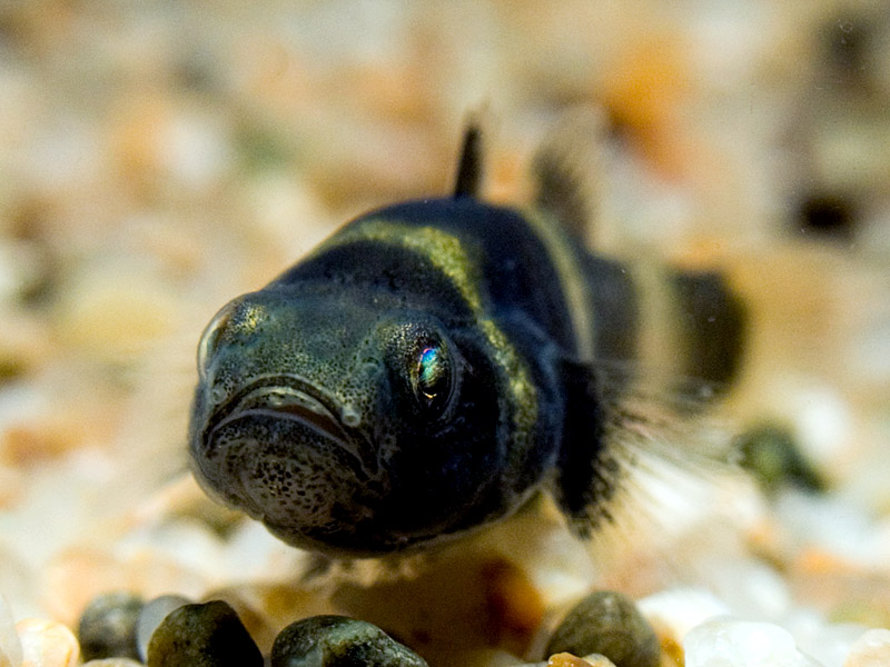 Face Bumblebee goby wallpaper