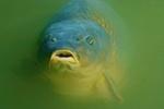 Face carp