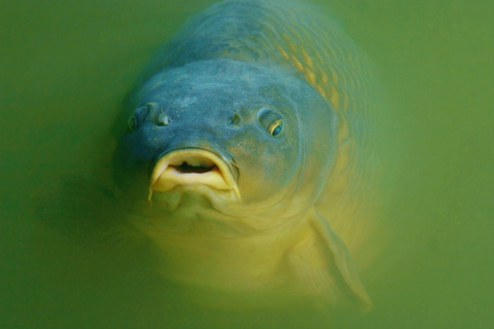 Face carp wallpaper