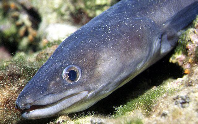 Face conger eel wallpaper