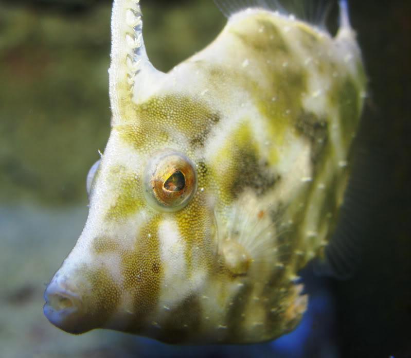 Face filefish wallpaper