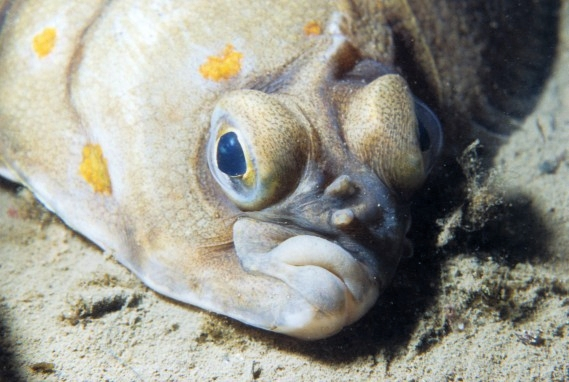 face flatfish photo and wallpaper cute face flatfish pictures