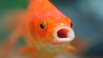 Face goldfish