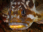 Face gopher rockfish