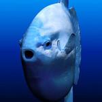Face ocean sunfish