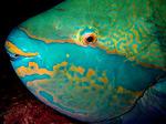 Face parrotfish