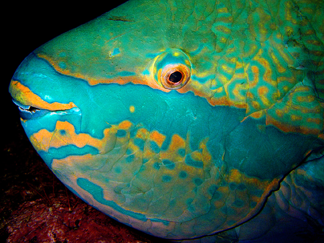 Face parrotfish photo and wallpaper cute face parrotfish for Pictures of parrot fish