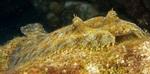 Face peacock flounder