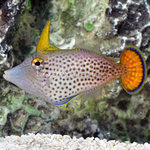 Filefish from one side