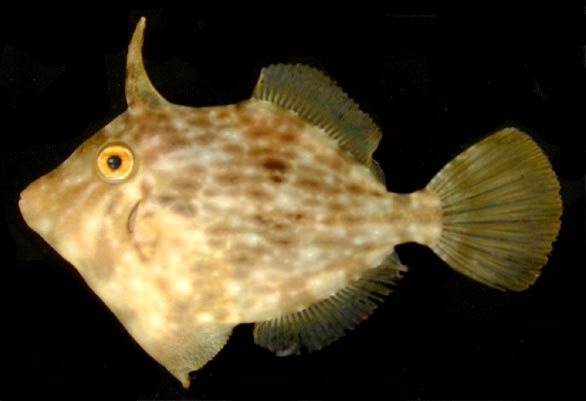 Filefish wallpaper