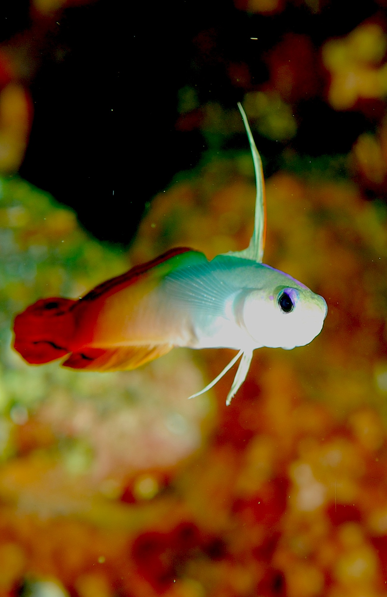 Fire Goby wallpaper