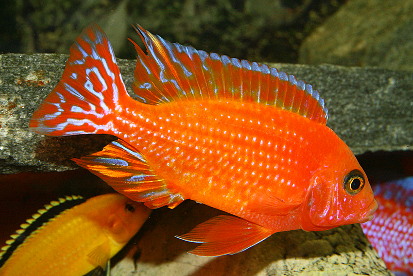 Firefish in aquarium wallpaper