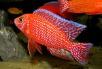 Огневая рыбка в камнях