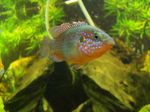 Flagfish swims