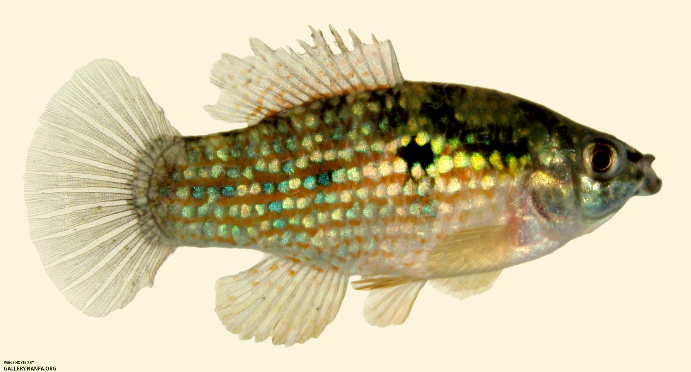 Flagfish wallpaper