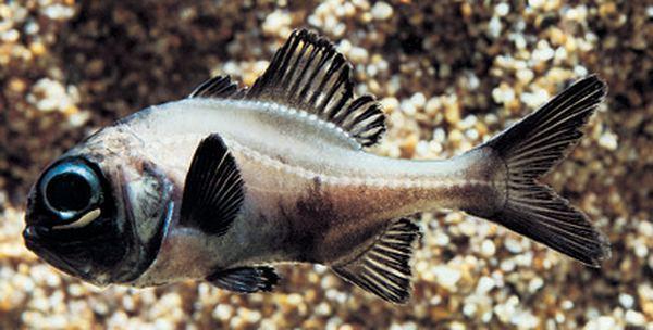 Рыбка форнарик в воде фото