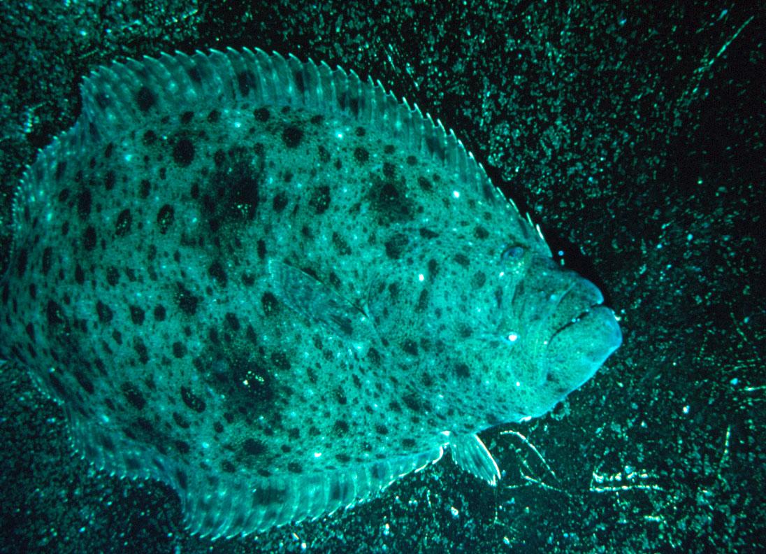 Flatfish in sea wallpaper