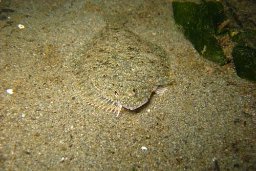 Камбала в песке фото