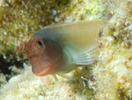 Floating Redlip blenny