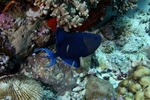 Floating Redtooth triggerfish
