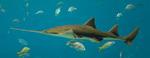 Плавающая акула-пилонос