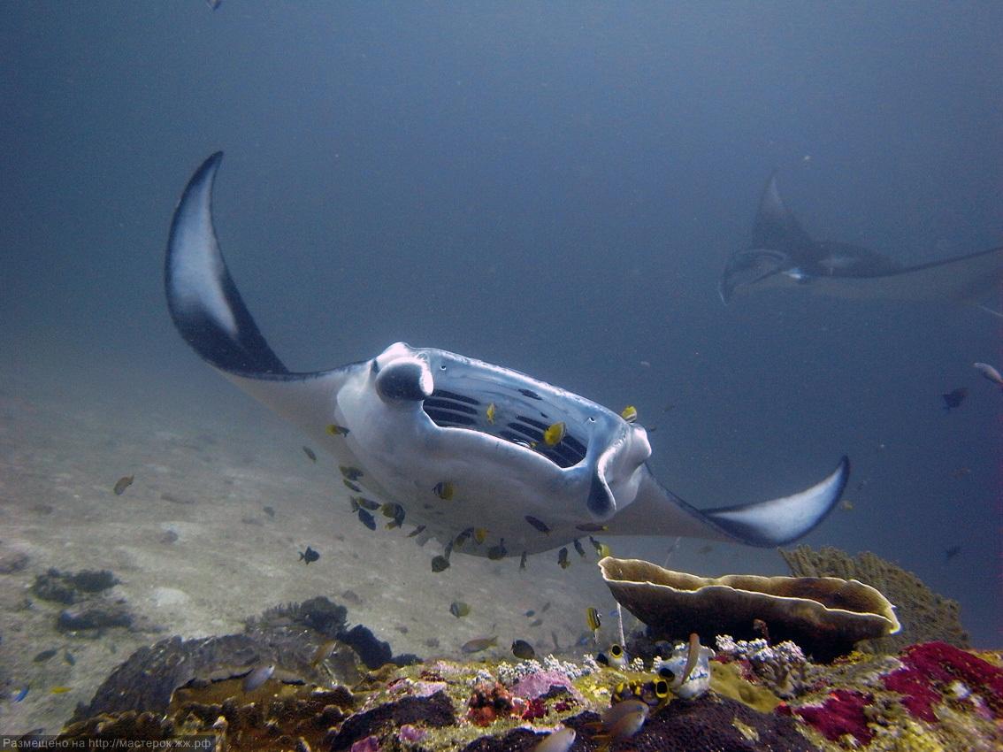 Плавающий Морской дьявол фото