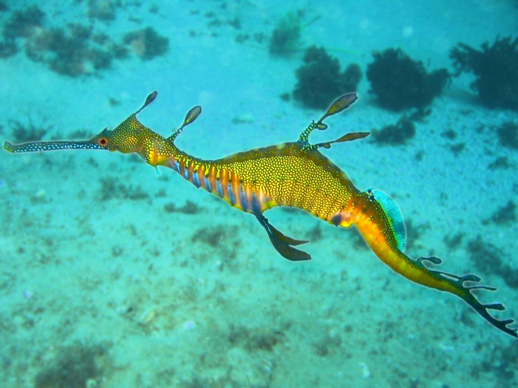 Floating Sea dragon  wallpaper