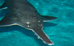 Floating Smalltooth sawfish