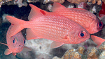Floating Soldierfishes