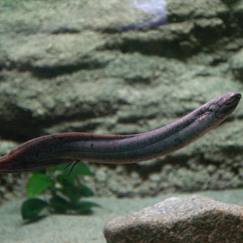 Плавающий американский чешуйчатник фото
