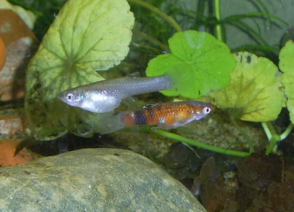 Плавающая Гудеевая рыба фото