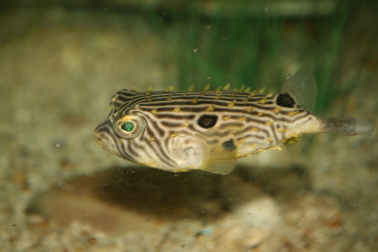 Floating Striped burrfish  wallpaper