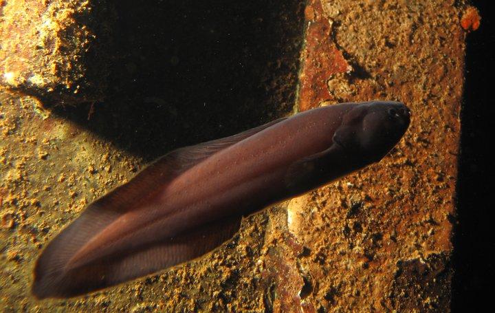 Floating Tadpole fish wallpaper