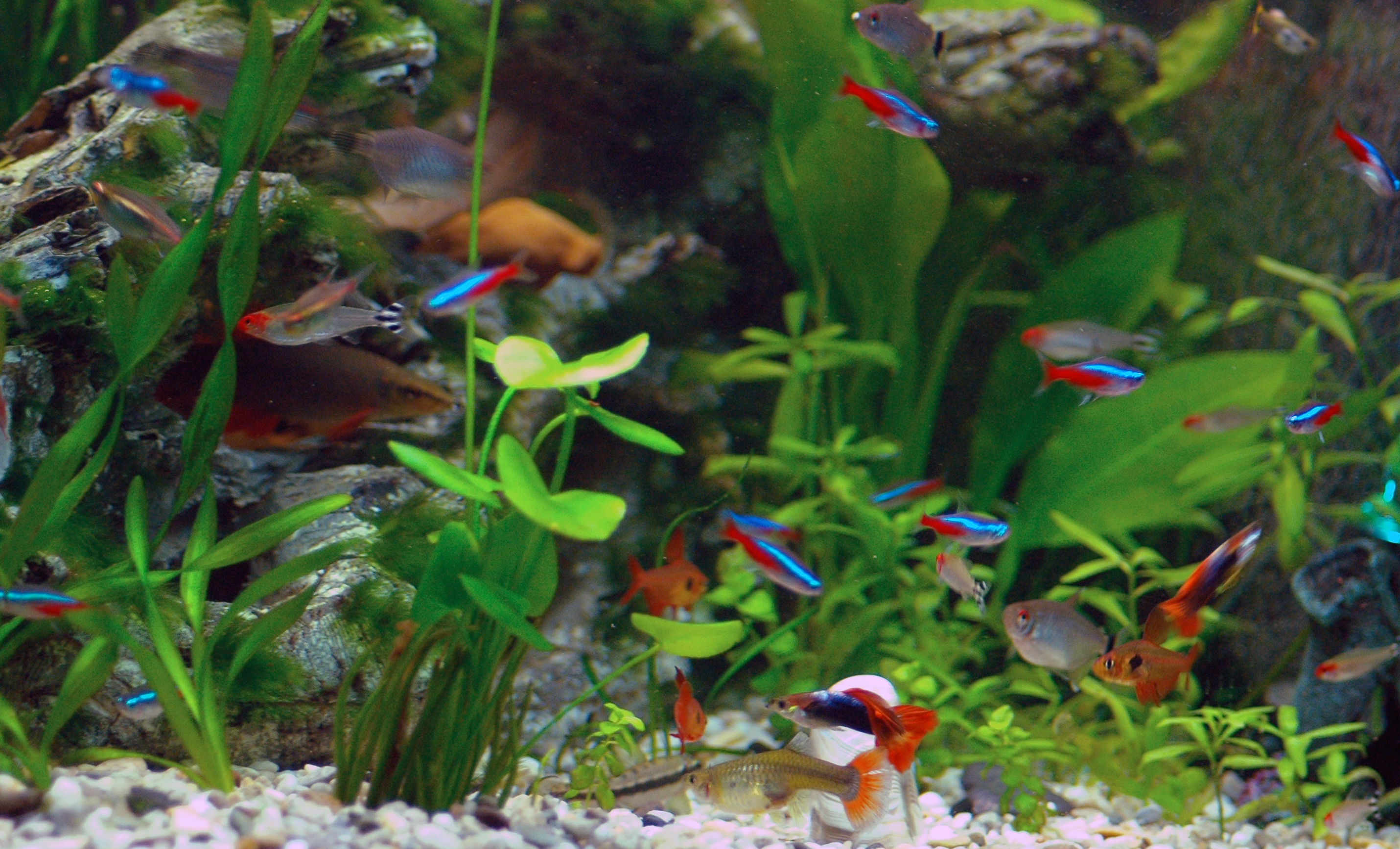 Floating Tetras wallpaper