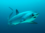 Floating Thresher shark