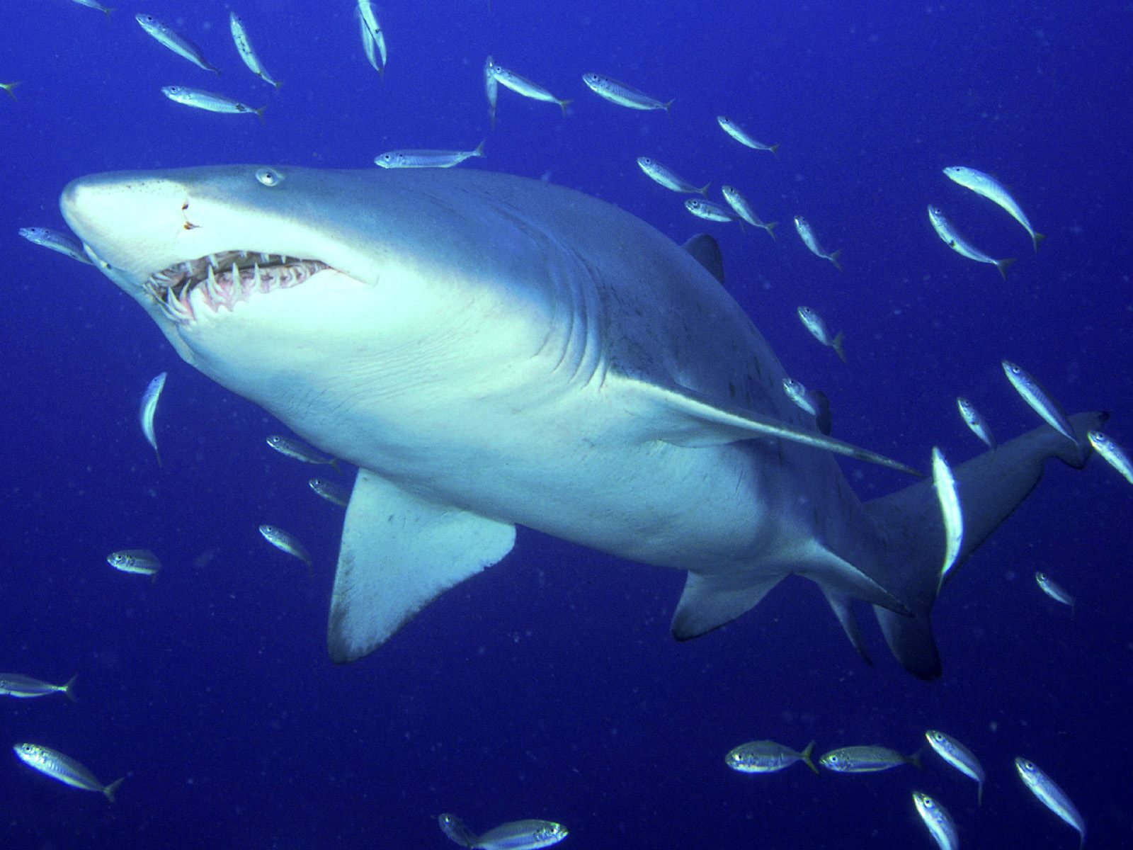 Плавающая Тигровая акула фото