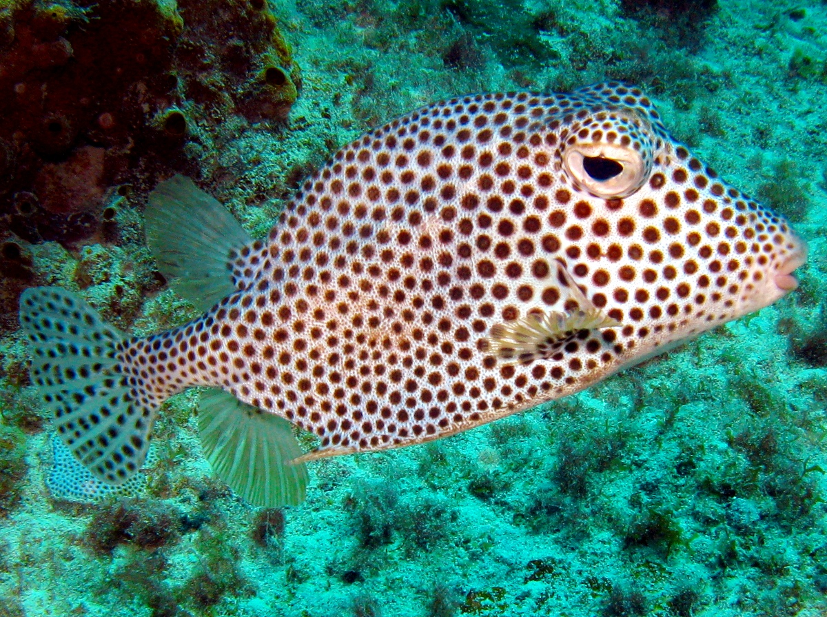 Floating Trunkfish wallpaper