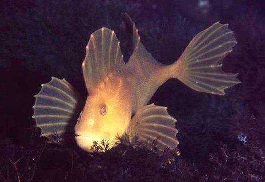 Floating Velvetfish wallpaper